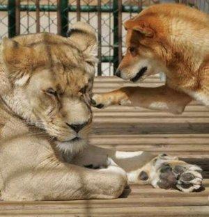 「おいライオン」